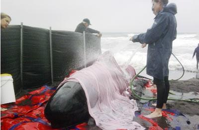 Rescatan Ballenas varadas